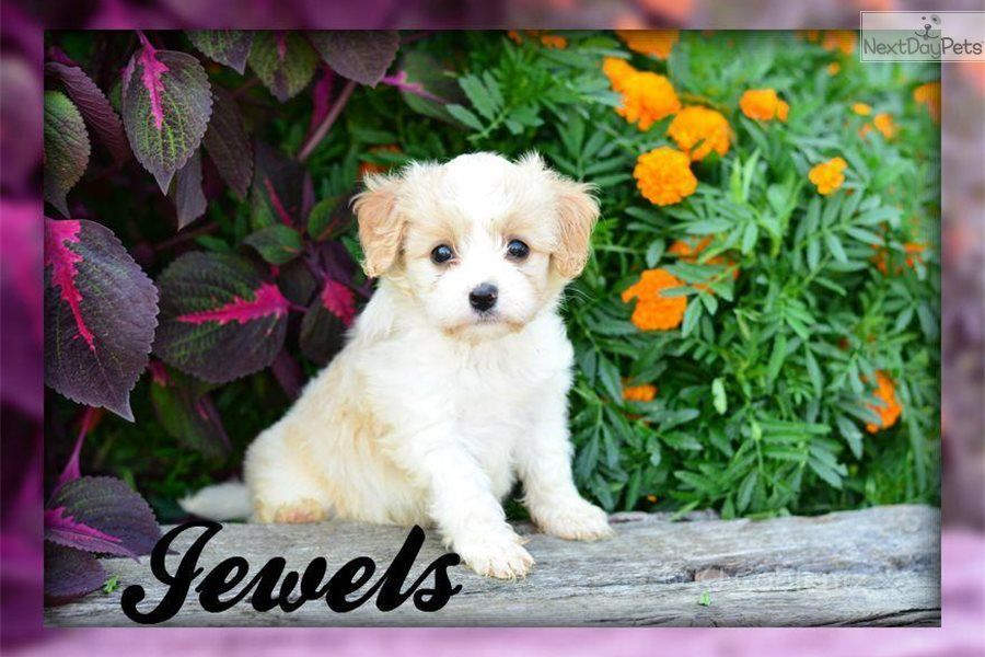 Jewels Cavachon Cavachon Puppy For Sale Near Akron Canton Ohio 81ffc87d 6681 Cavachon Puppies Cavachon Puppies