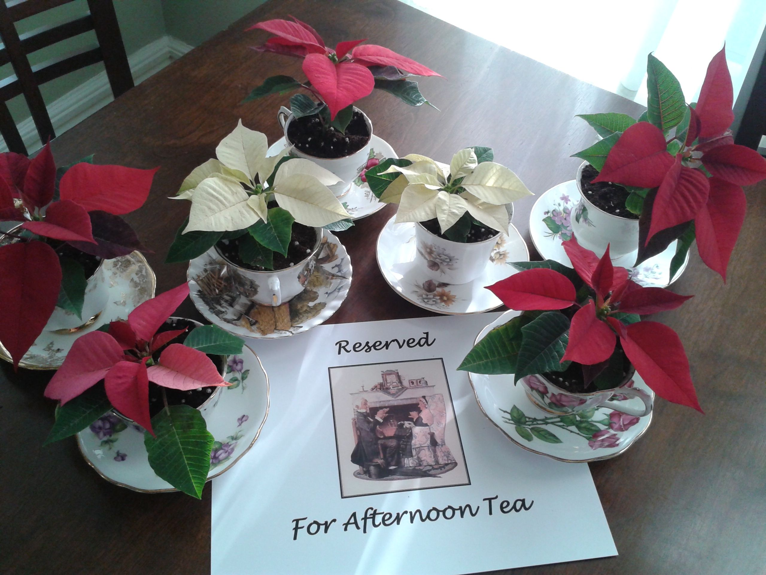 Mini pointsettia in cups and saucers. For sale at our afternoon tea this Sunday. $10. For more information about our afternoon tea this Sunday visit http://bit.ly/1zlcZMI