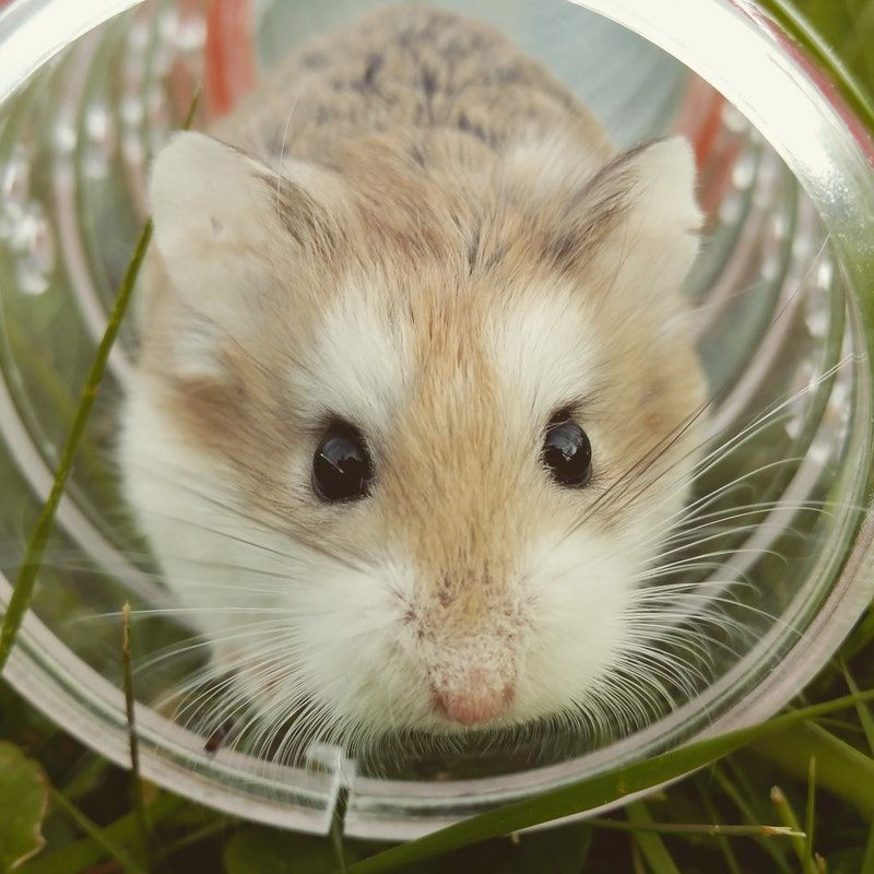 Healthy Hamsters Pair For Sale In India At Affordable Price Buy Healthy Hamsters At Affordable Price In India At Mr N Mrs P Pet Sitters Hamster Cute Hamsters