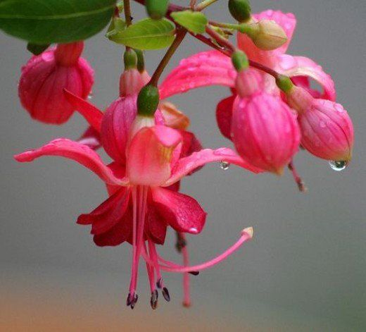 Learn how to grow and care for an interesting addition to your garden or home, the fuchsia plant. Enjoy the beauty this romantic, perennial plant offers by following these growing tips.