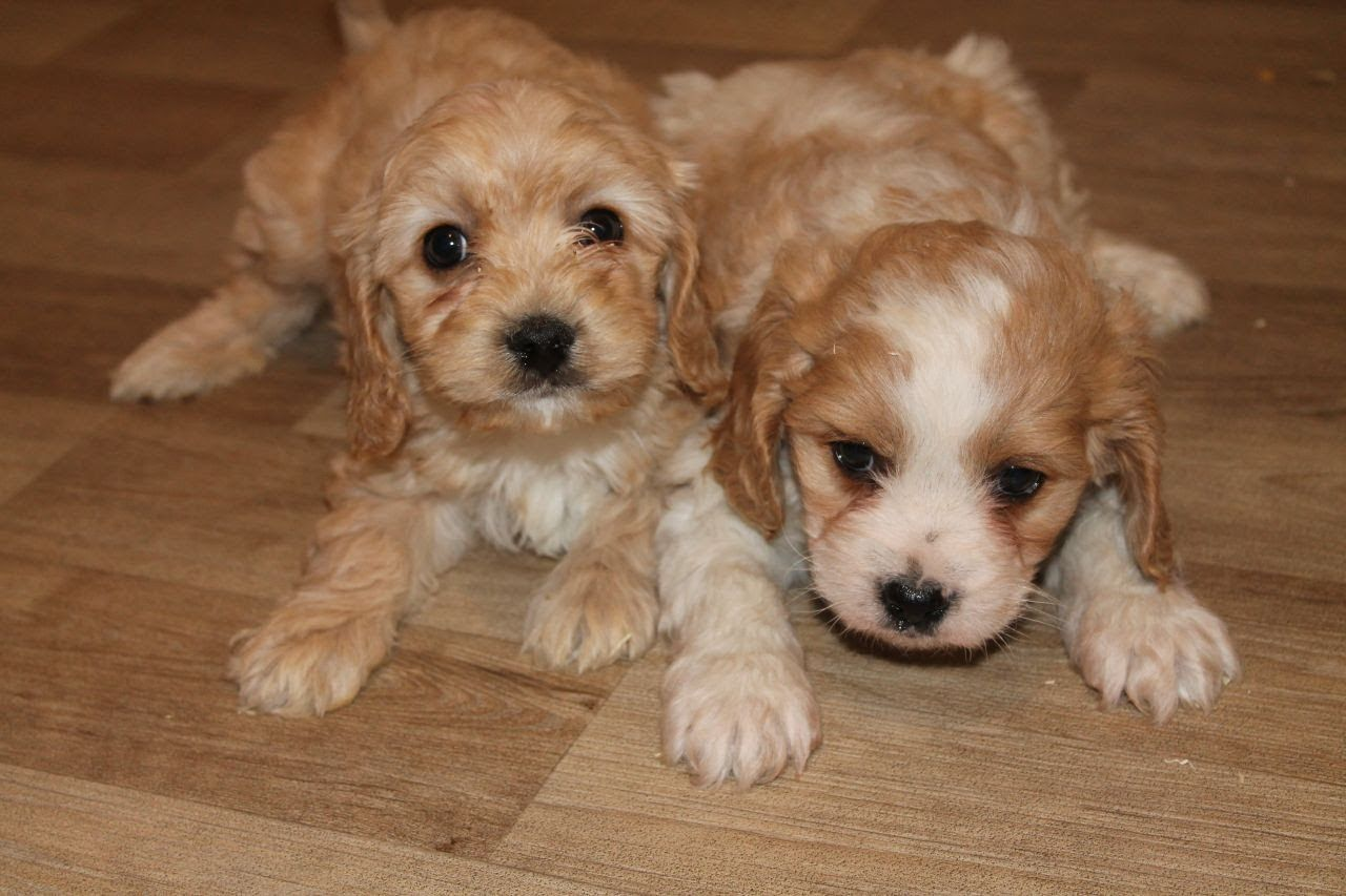 cavachon puppiescavachon puppies cute