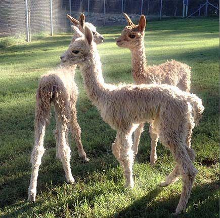 Alpacas Farm Ranch Somis Ca Ventura County Suri Huacaya Alpacas Boarding Alpaca Agisting Alpaca Breeding Alpaca Transportin Alpaca Farm Alpaca Pet Organization