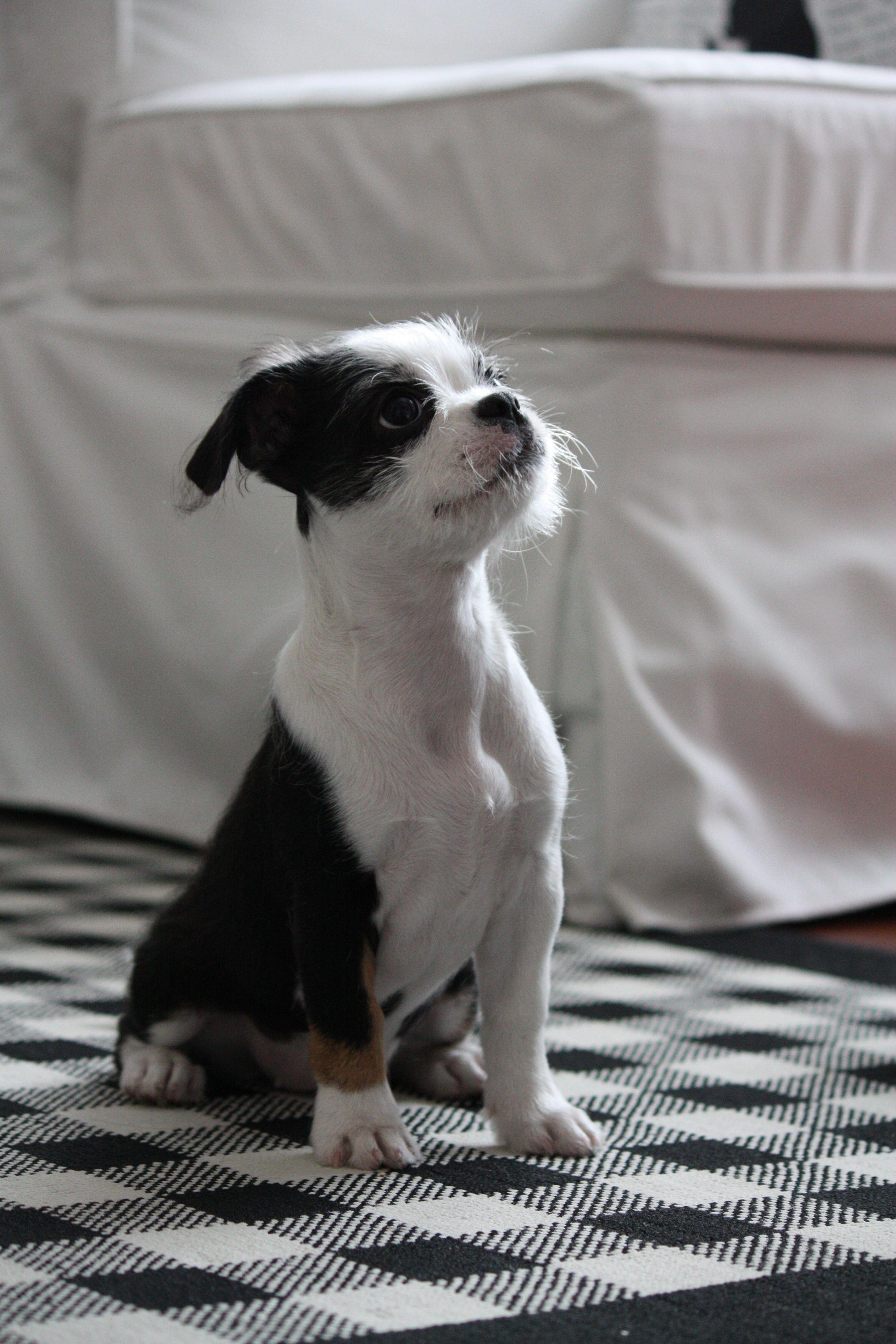 Boston Terrier Shih Tzu Puppy Looks Just Like My Stella Shih Tzu Puppy Boston Terrier Shih Tzu