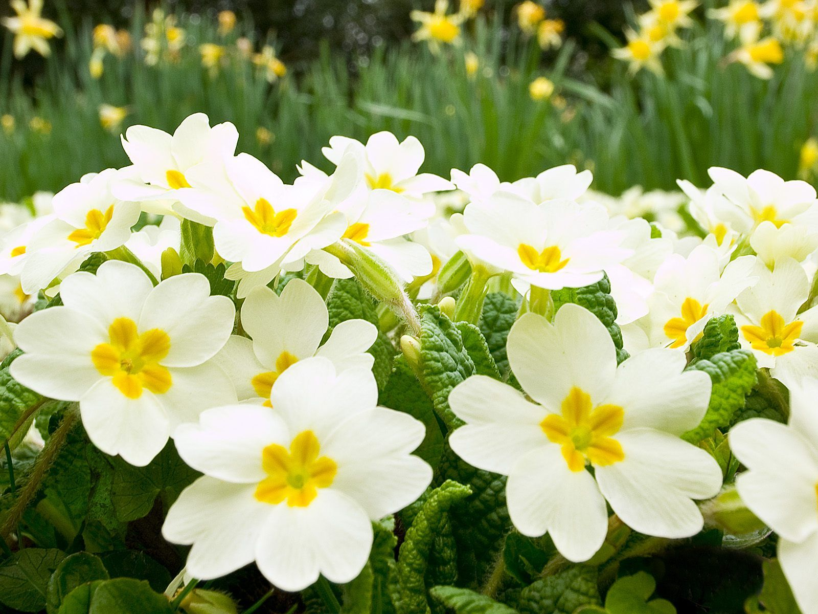 Images of spring flowers and wallpapers download beautiful images of spring flowers and wallpapers download izmirmasajfo
