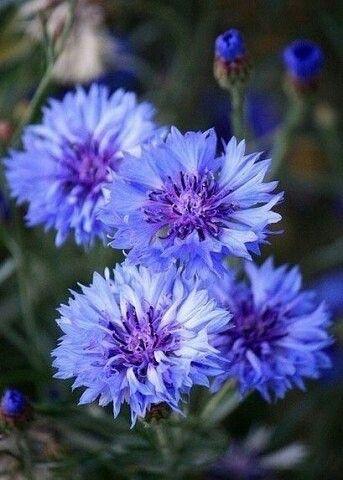 Васильки | Фиолетовые цветы, Цветы и Цветок