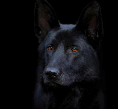 Stunning Black German Shepherd Police Dog Black German Shepherd Dog Black German Shepherd German Shepherd