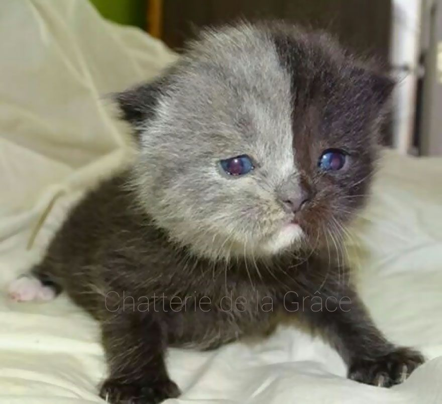 Rare Kitten Born With Two Faces Grows Up Into The Most Beautiful Cat Ever Rare Cats Two Faced Cat Gorgeous Cats