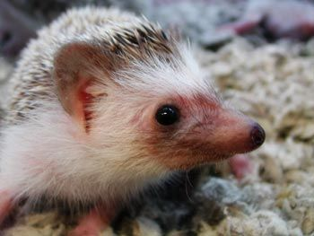 Hedgehogs Are Wonderful Pets Who Are Easy To Care For Erizos Sonic