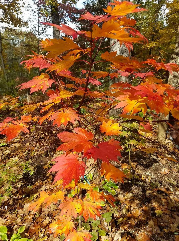 Oisami Japanese Maple Gardens Japanese Maple Acer Palmatum Acer