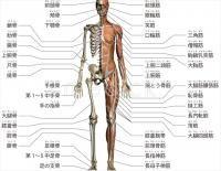 人体解剖図人体図 骨筋肉 医療のイラスト写真動画素材販売