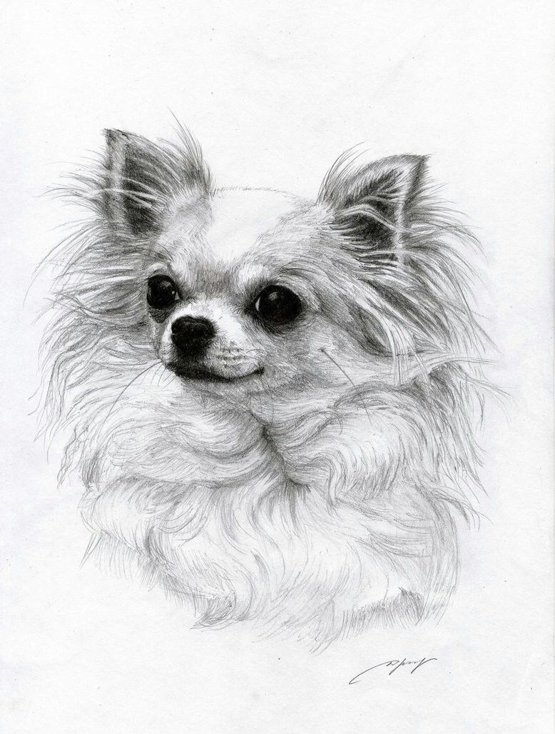 how to draw a realistic chihuahua face