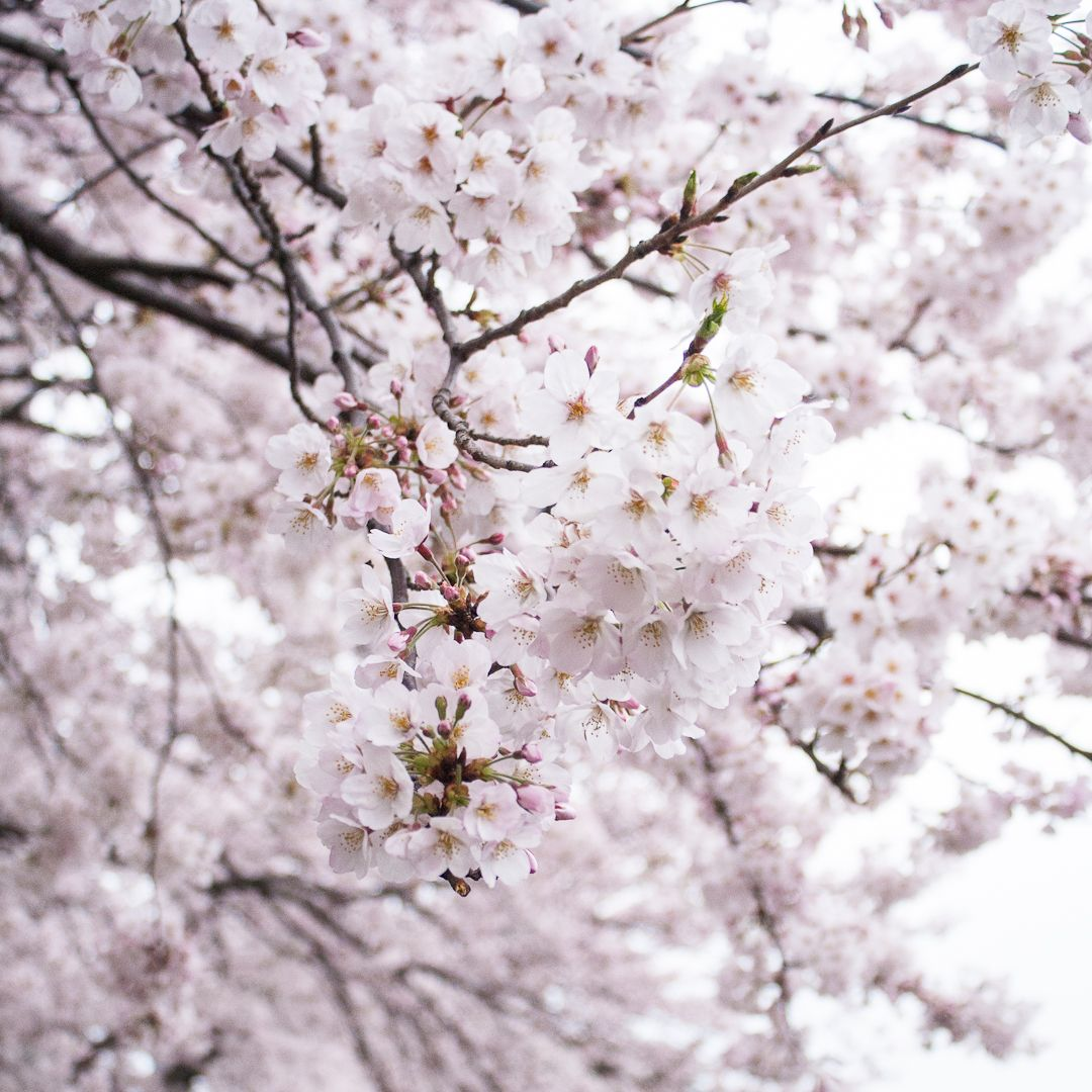 Nagomi Manicure Sakura Pedicure Nyc Shizuka New York Day Spa Spa Day Sakura Spring Is Here