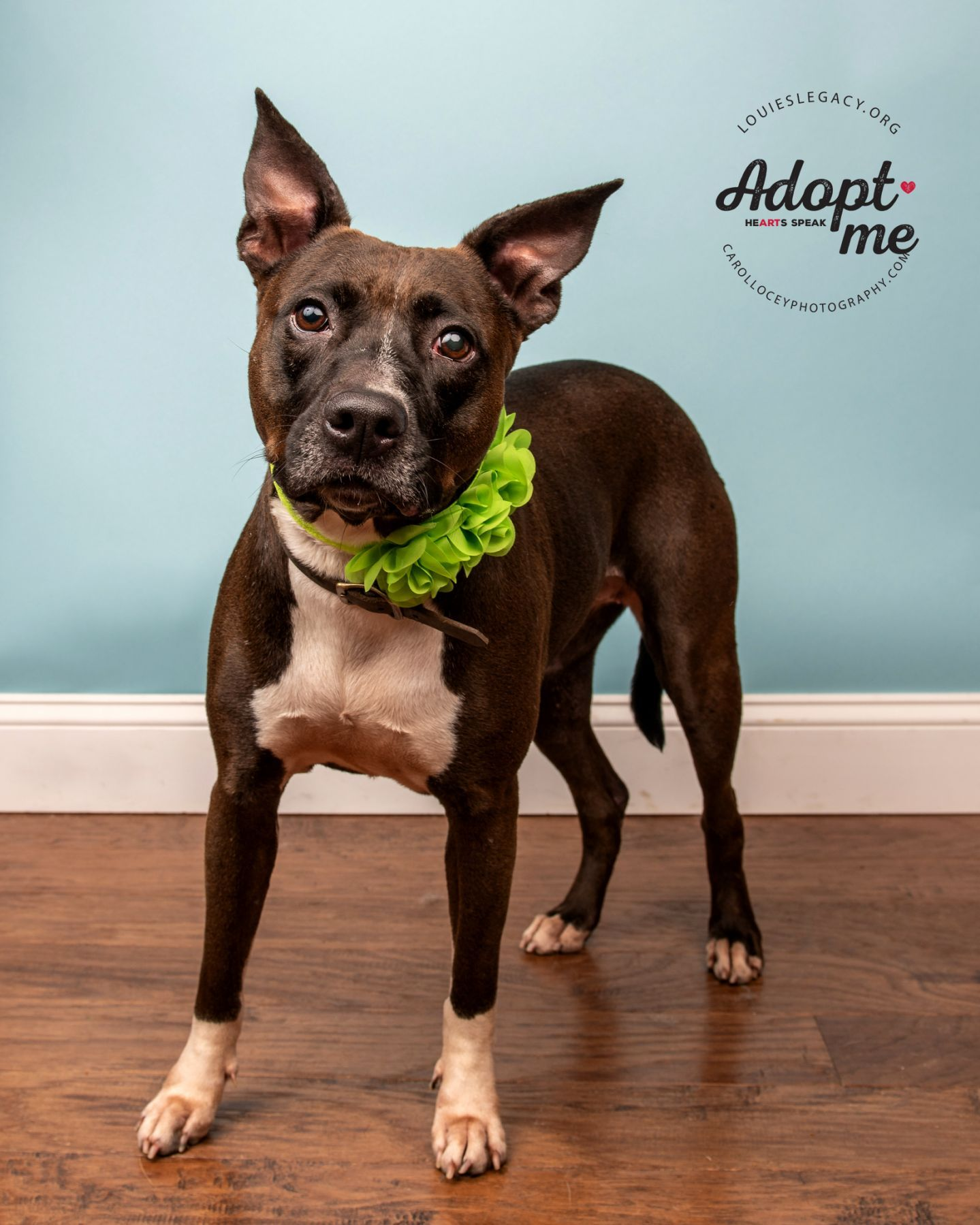 Adopt Ginger On Pitbull Terrier American Pitbull Terrier Dog Adoption