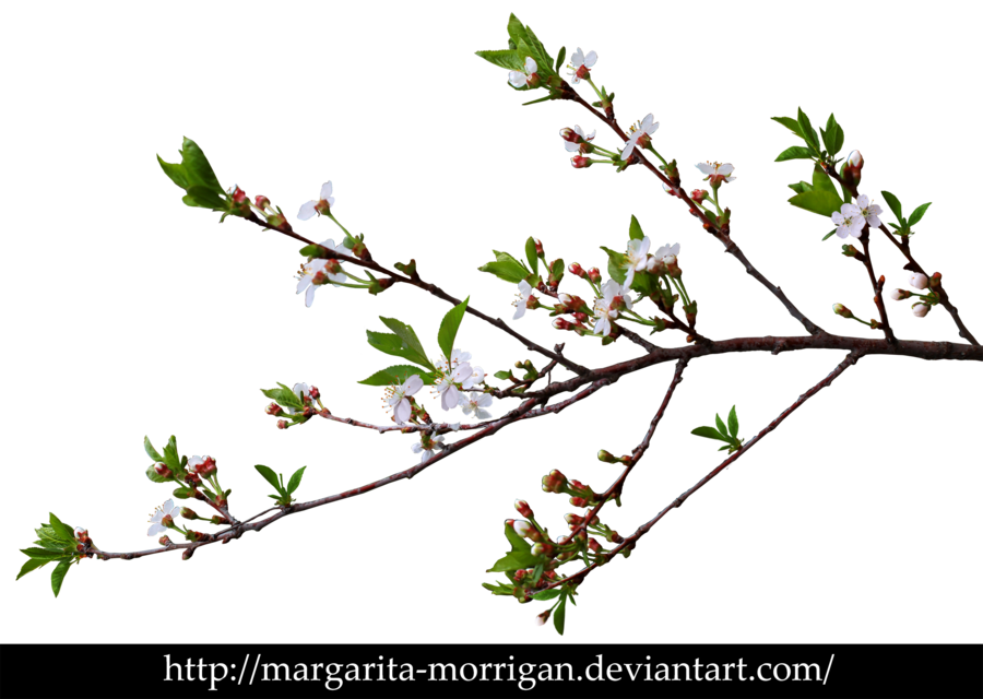 Branch Of Cherry Blossoms By Margarita Morrigan Deviantart Com On Deviantart Cherry Blossom Birch Leaf Blossom