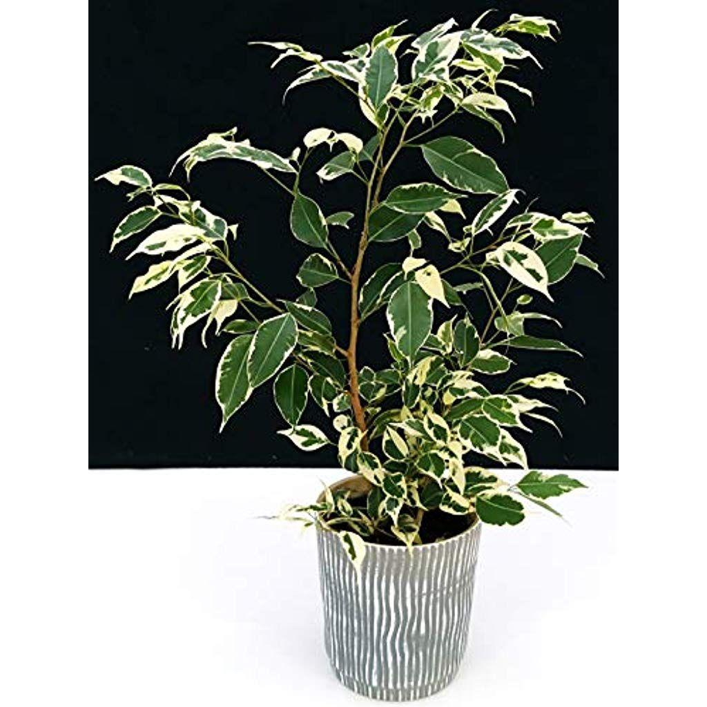 Cura Del Ficus Benjamin ficus benjamin variegato in vaso ceramica pianta vera