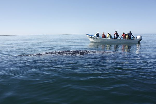 Our favorite December to March activity in Baja: Whale Watching! Read about the best places to see the whales and see more photos from our experience here:   #travel #mexico #whalewatching #cabo #Baja #loscabos #ilovecabo #passionpassport #bucketlist