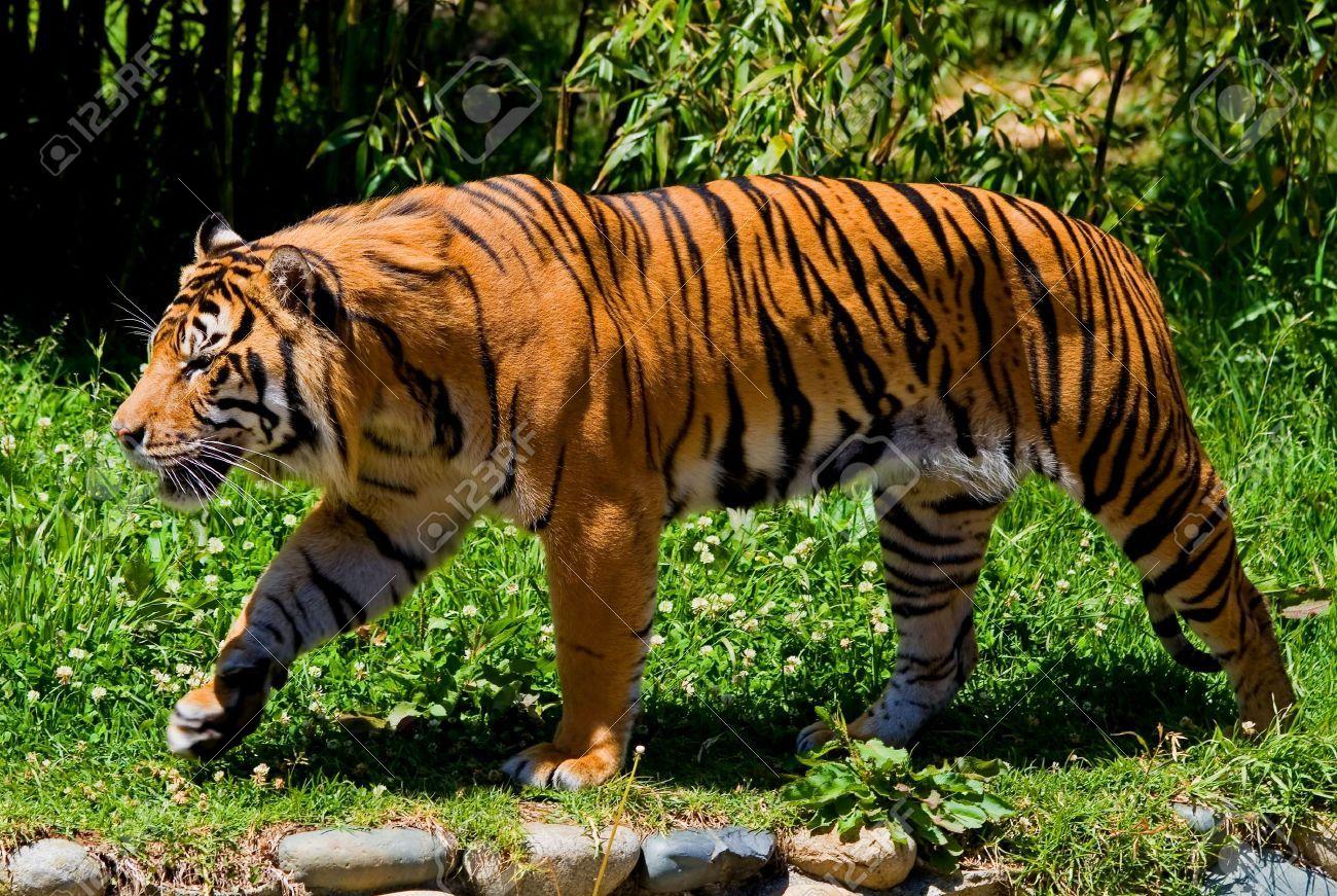 tiger walking Google Search