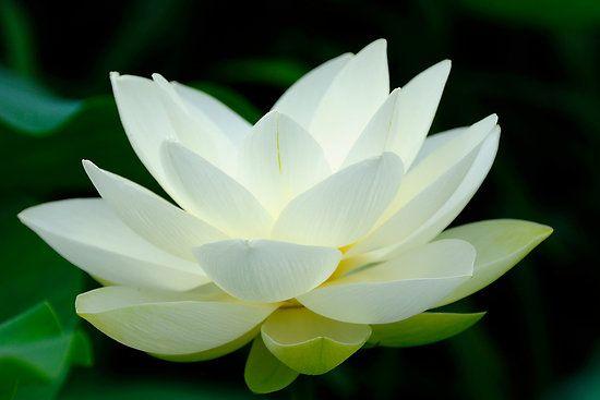 Serenity  #flowers