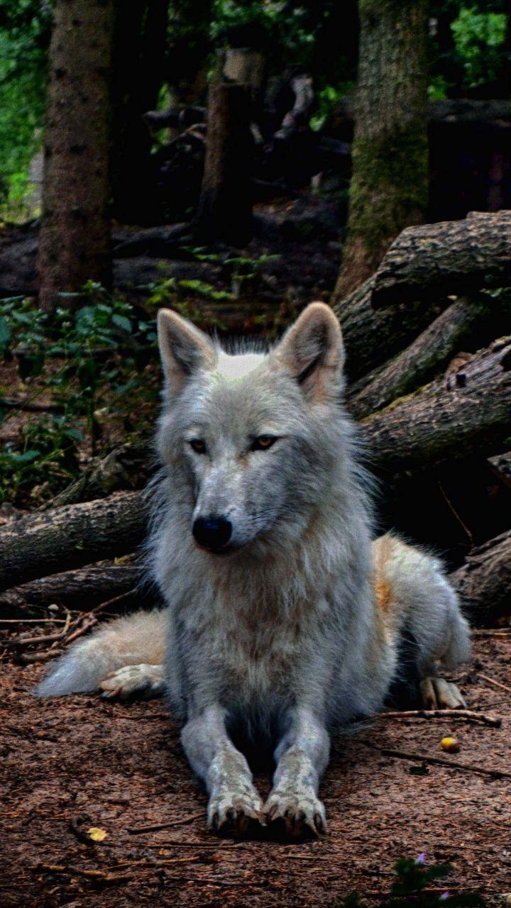 White wolf, predator, animal, 720x1280 wallpaper