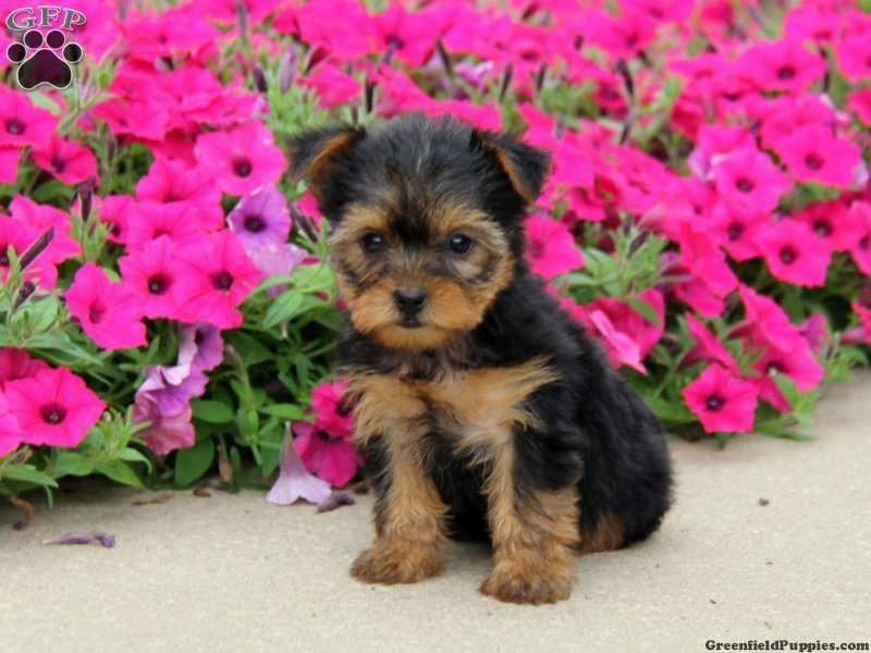 Freda an adorable yorkie puppy for sale in ephrata pa