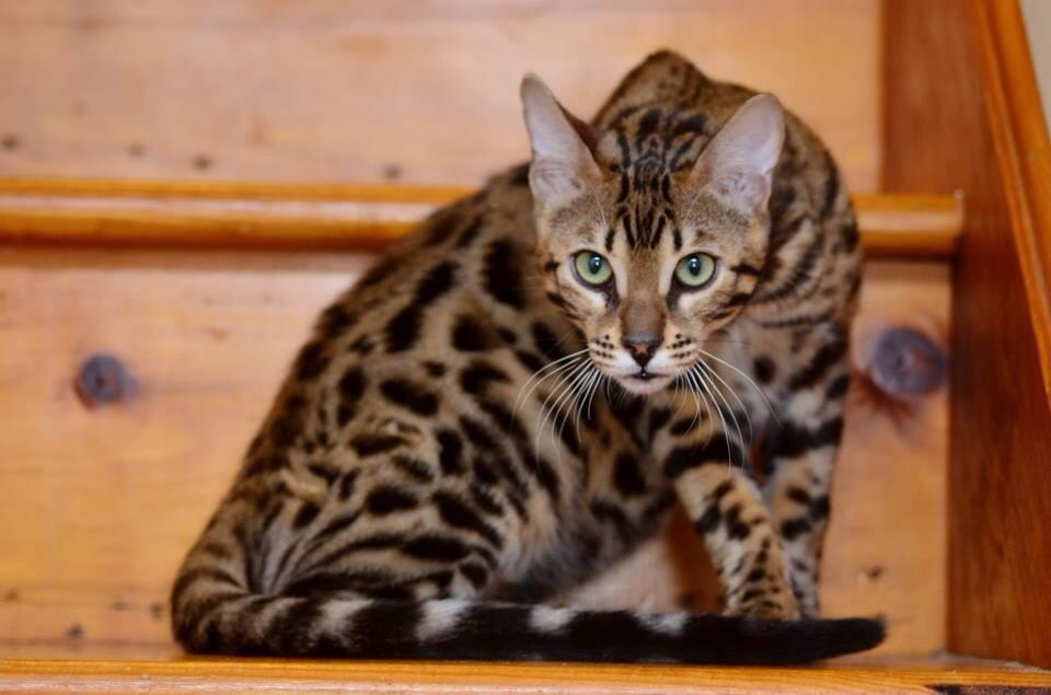 Bengal Cat May Want One Some Day Bengal Kitten Cats Kittens