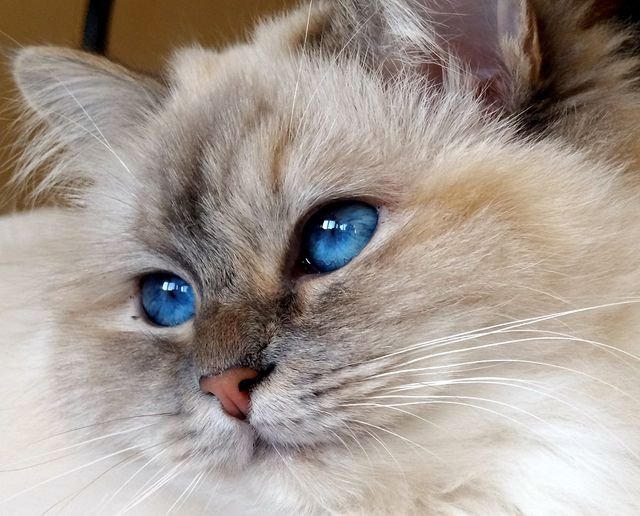 Catali S Zoraya Blue Tortie Tabby Point Birman Female 1 Year 6 Months Cat Breeds Birman Siamese Cats Blue Point Tabby Cat