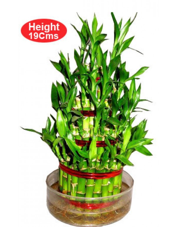 4 Layerlucky Bamboo Indoor Bamboo Plant Bamboo Plants Indoor