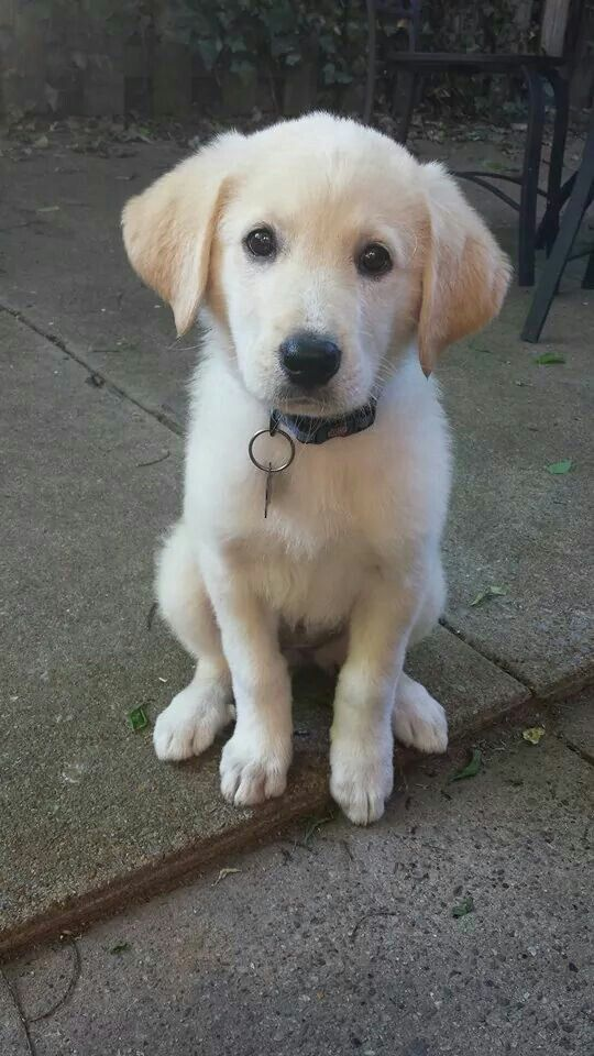 Lab Great Pyrenees Mix Pyrador Great Pyrenees Puppy Time