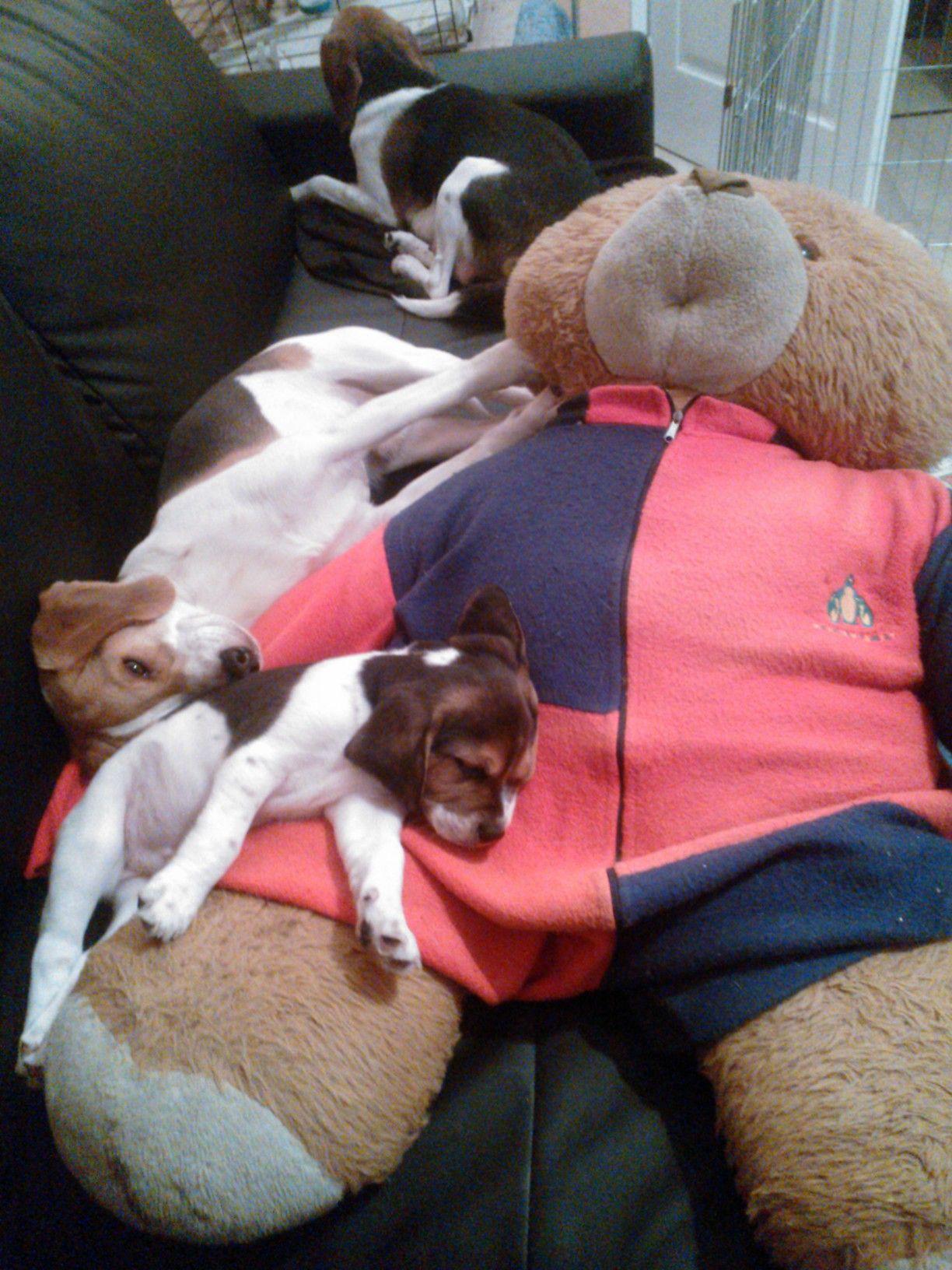 Cute beagle family