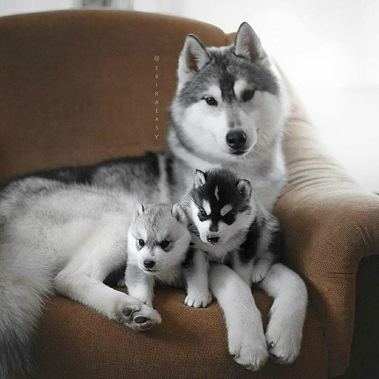 Tag 3 Friends Who Loves Husky Follow Huskiespaw For More