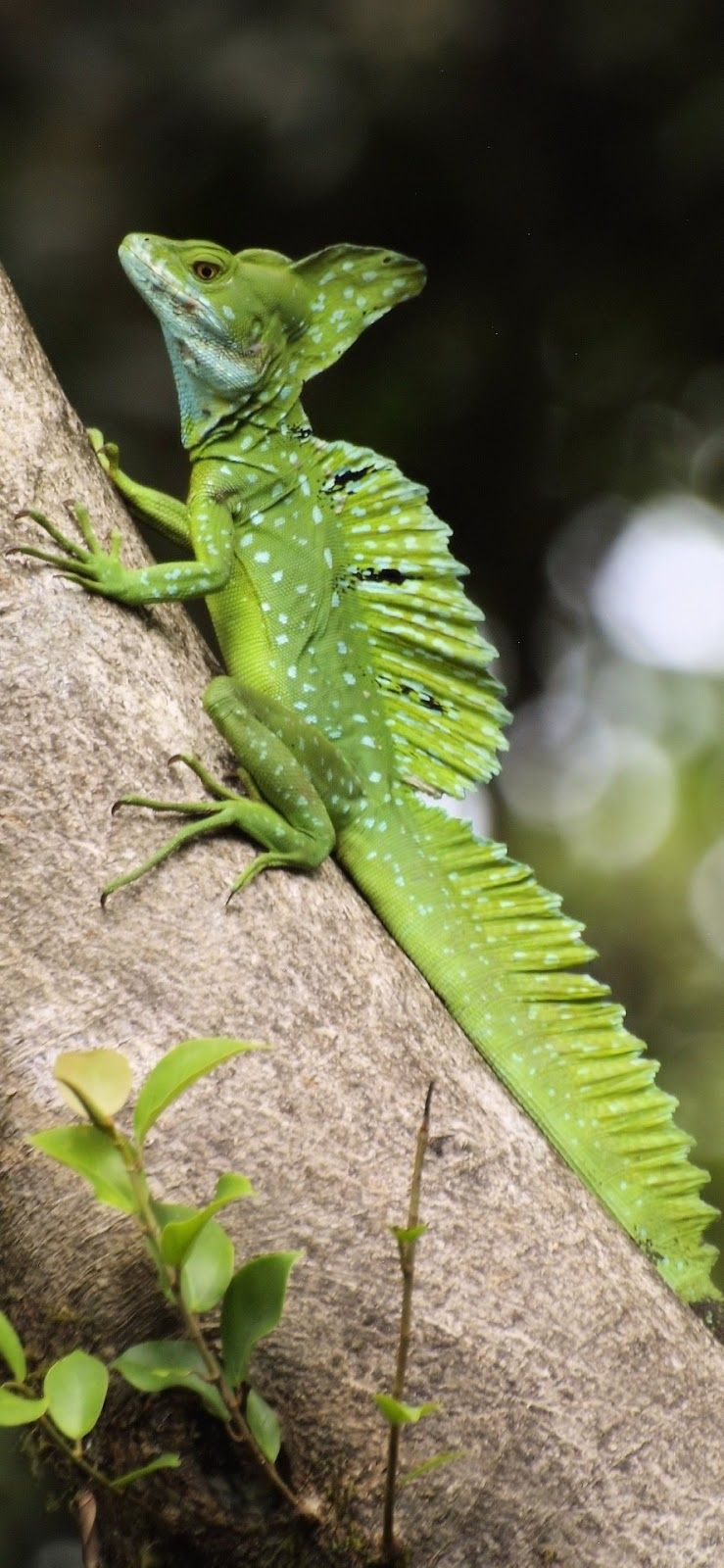 Weird looking green lizard (Basiliscus plumifrons)