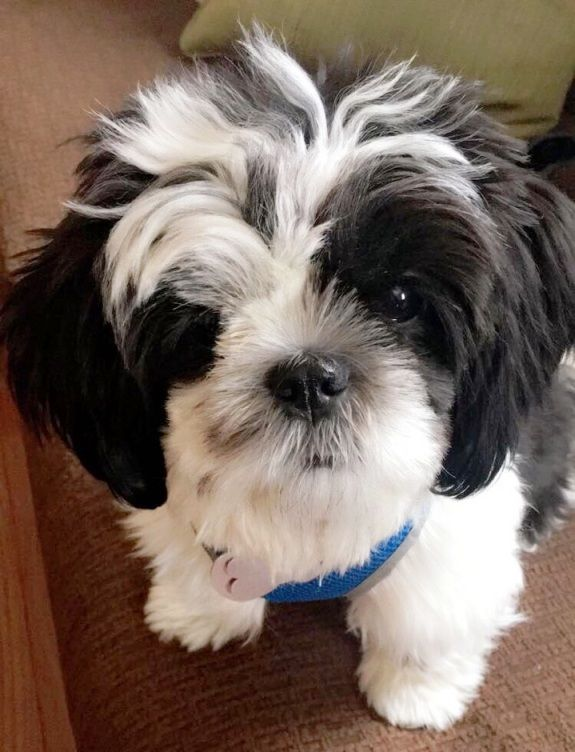 Shih Tzu Dog For Adoption In Springfield Va Adn 533412 On Puppyfinder Com Gender Male Age Young Dog Adoption Shih Tzu Shih Tzu Dog