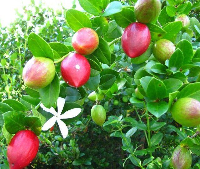 Tanaman Natal Plum Large Num Num Natal Plum Plum Fruit Fruit Plants