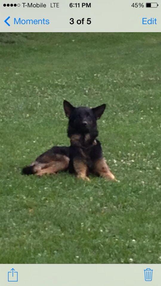 Founddog 8 8 14 Louisville Ky Germanshepherddog Tom Sawyer Park