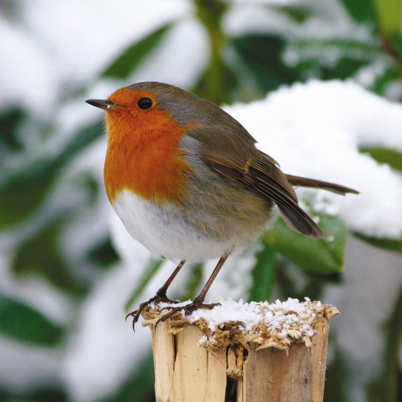 Oiseaux Des Jardins Automne