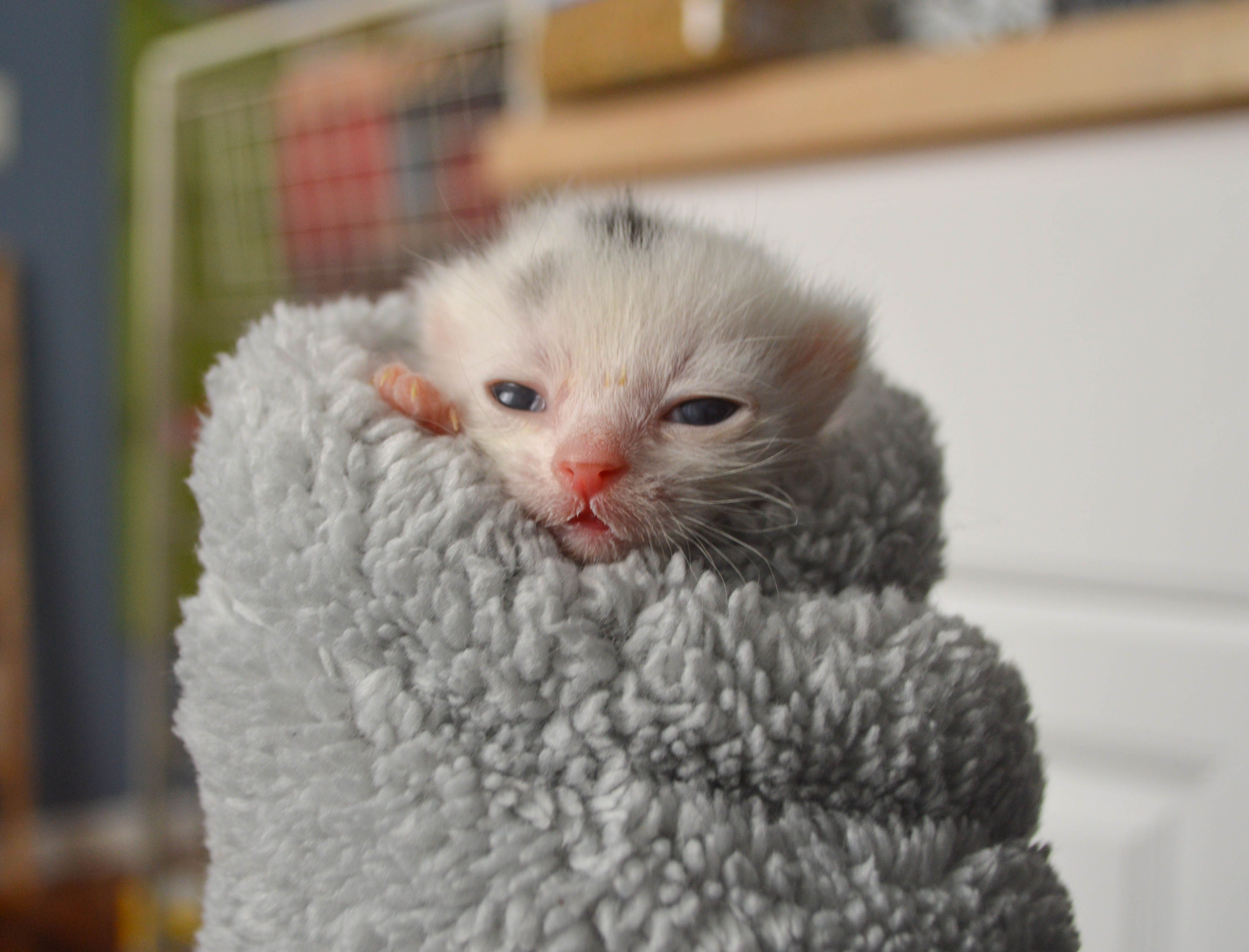 Nutmeg In A Purrito At 2 Weeks Old Cute Cats Photos Kittens Cutest Funny Dog Faces