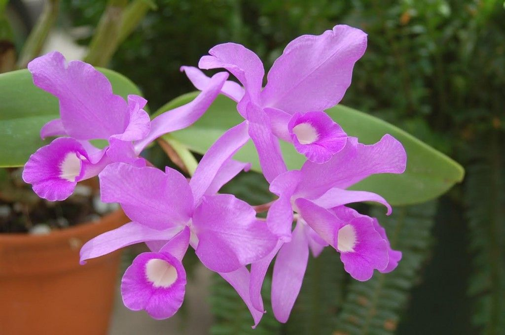 These Blooms will Transport You to the Tropics! This is aLavendar Guarianthe skinneri orchid.