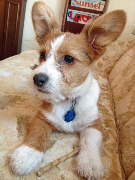 Louie The Corgimaltese Mix Adorable Just Pooches Pinterest