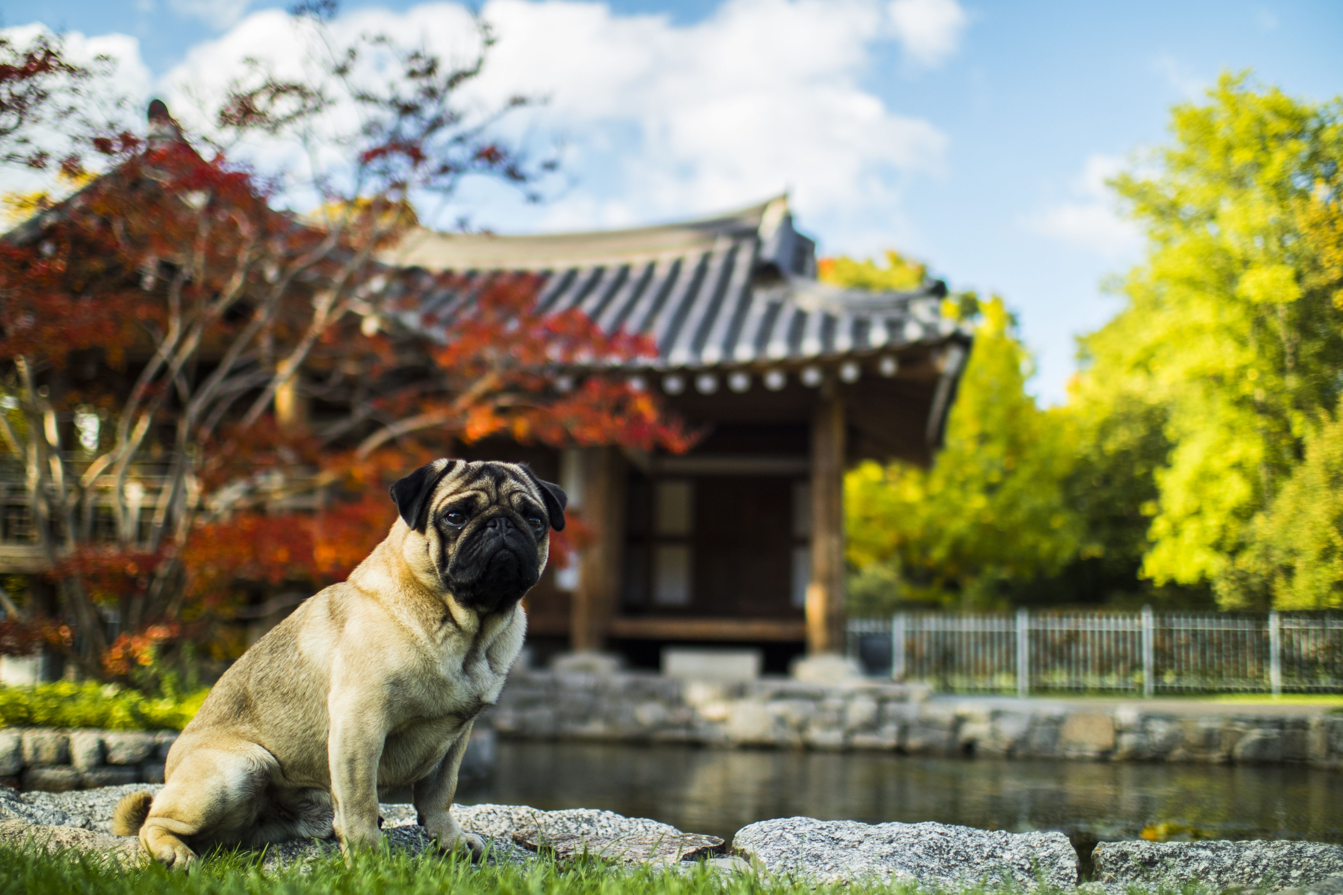 The History Of Pugs In Ancient China Training Your Dog Dog