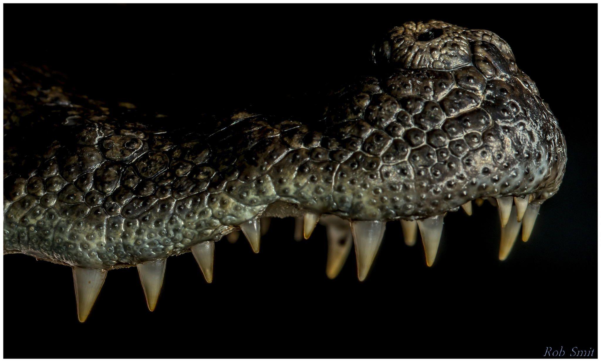 29bb02a6a84c Brilkaaiman (Caiman crocodilus) by Rob Smit on 500px