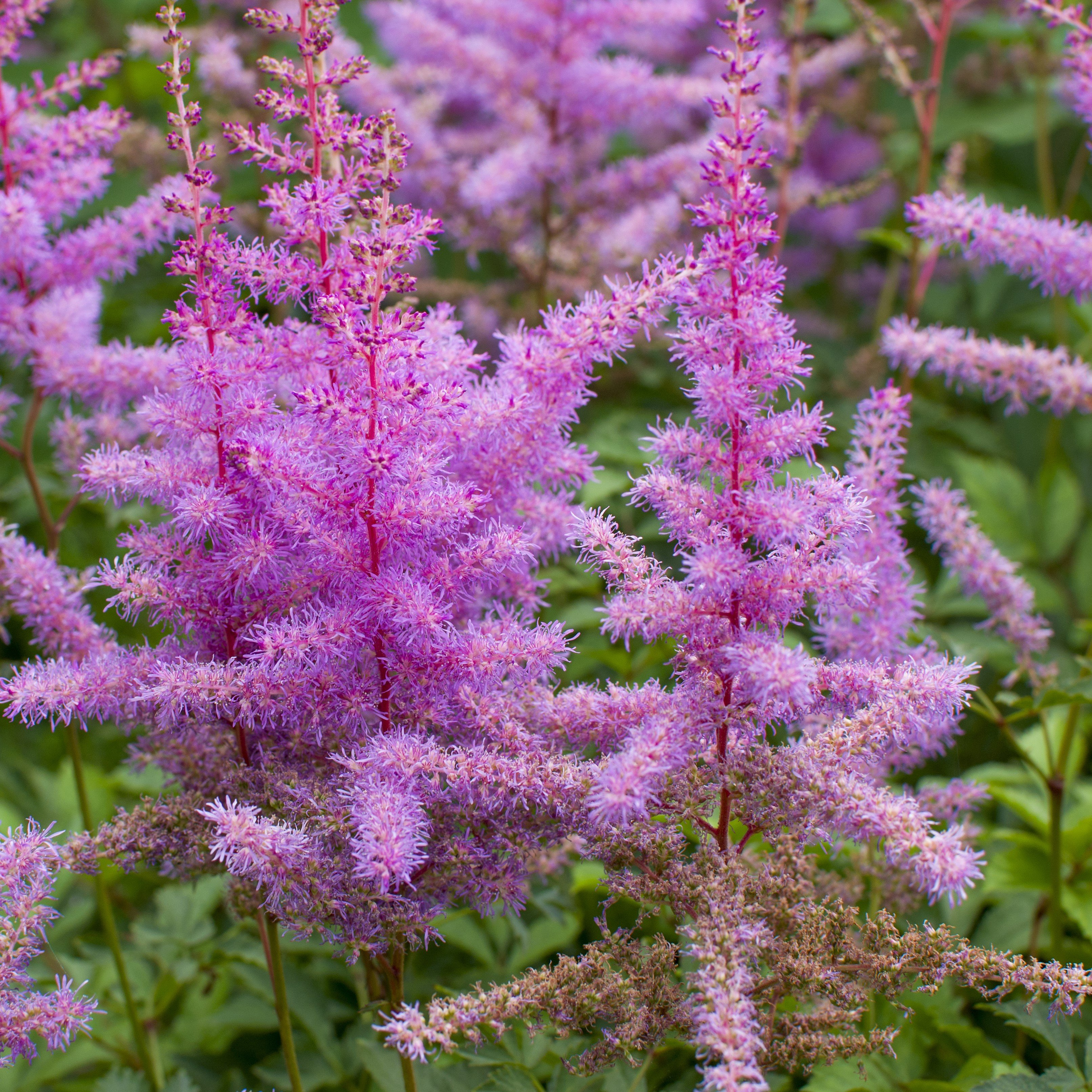 Allium Ampeloprasum In 2020 Astilbe Plants Fall Plants