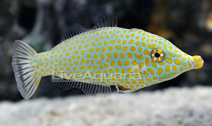 Oxymonacanthus Halli Liveaquaria S Offers The Red Sea Harlequin Filefish Sea Animals Ocean Animals Sea Creatures