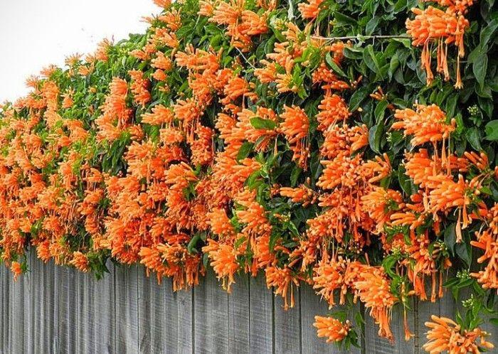 Enredadera flores naranjas bignonia garden yellow orange for Arboles de hoja perenne que crece rapido