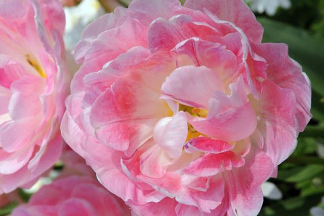Peach Blossom