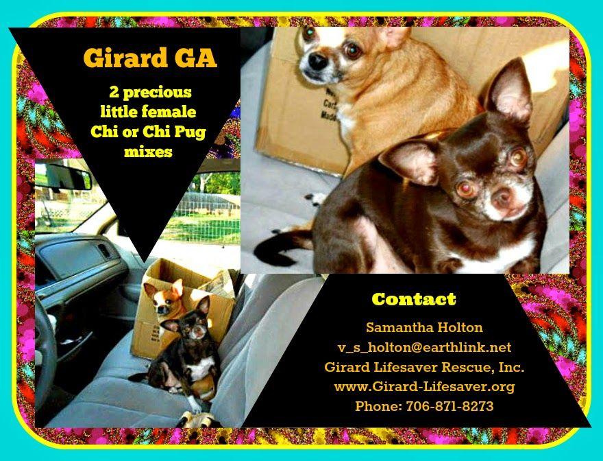 lizardmarsh GIRARD GA (near Augusta) 2 SMALL Chihuahuas