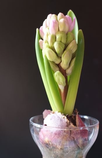 Hyacinth bulbs I love