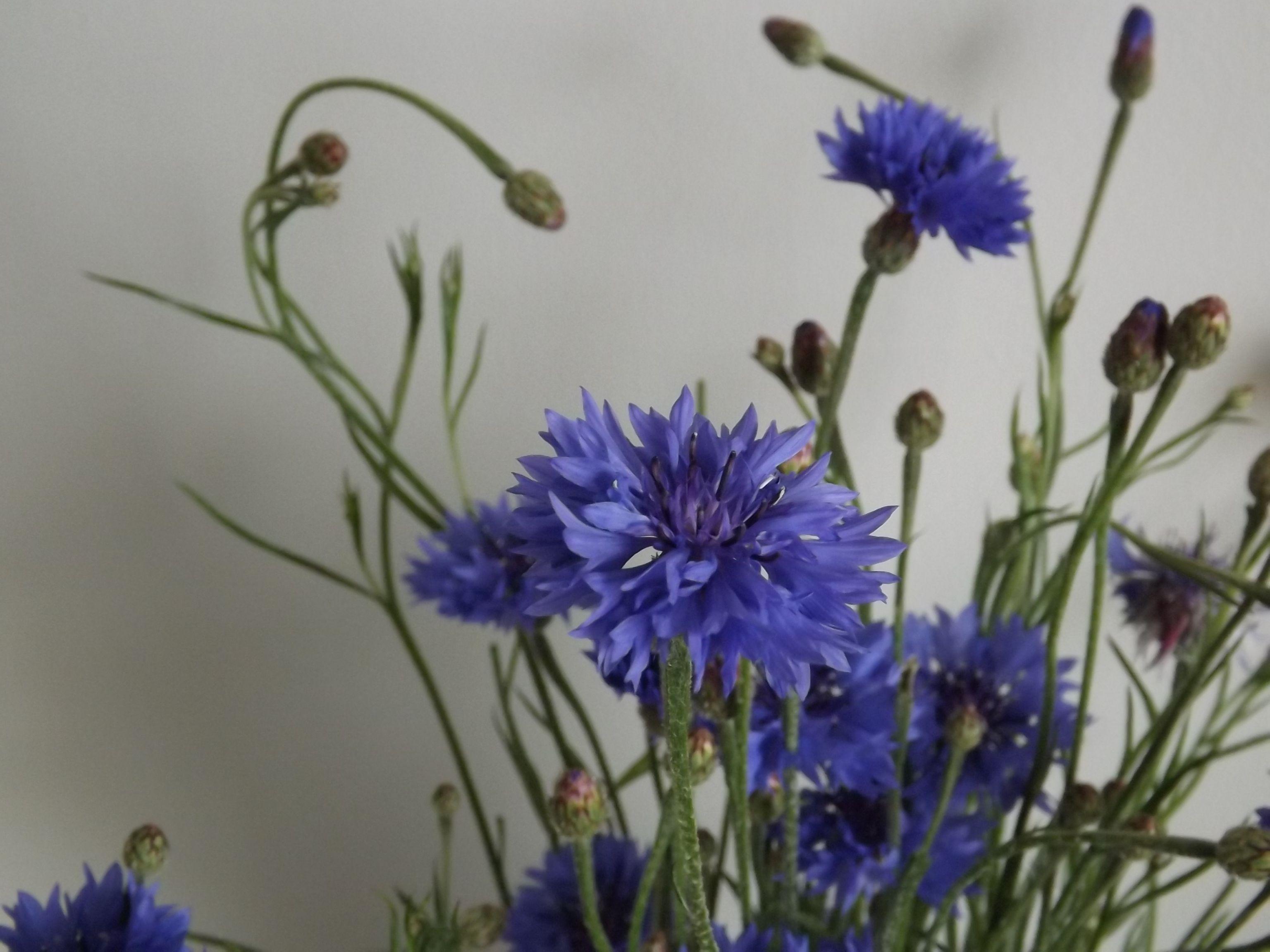 Cornflowers Plant Fungus Trees To Plant Cornflower