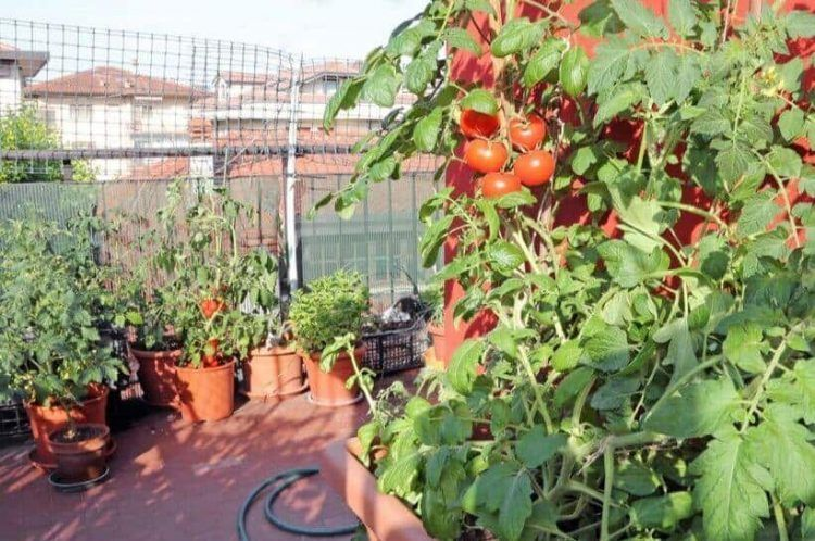 Growing tomatoes in pots planting care and fertilizing