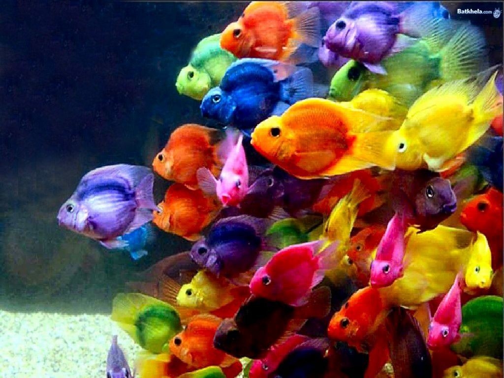 Every Fish Of The Rainbow, Animals, bright, colorful, colors, fish ...