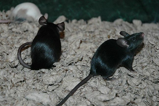 Extreme Black Or Black Mice Fancy Mouse Animals Friends Pet Rats